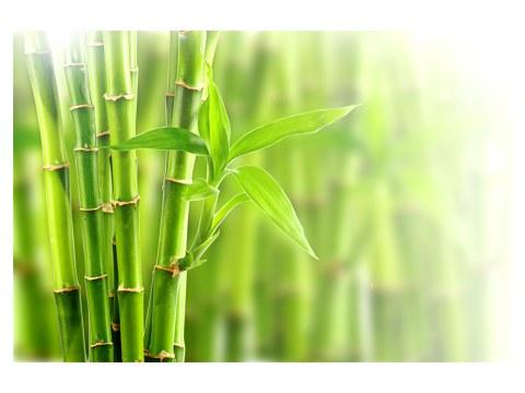 Bambus Bilder